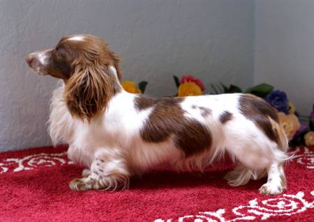 Netherlands long-haired miniature dachshund team